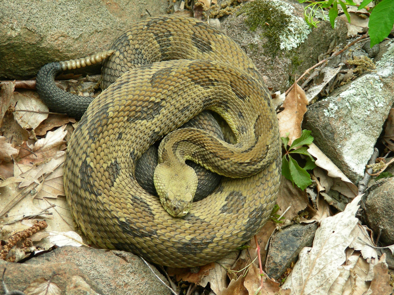 Timber Rattlesnakes In Rhode Island