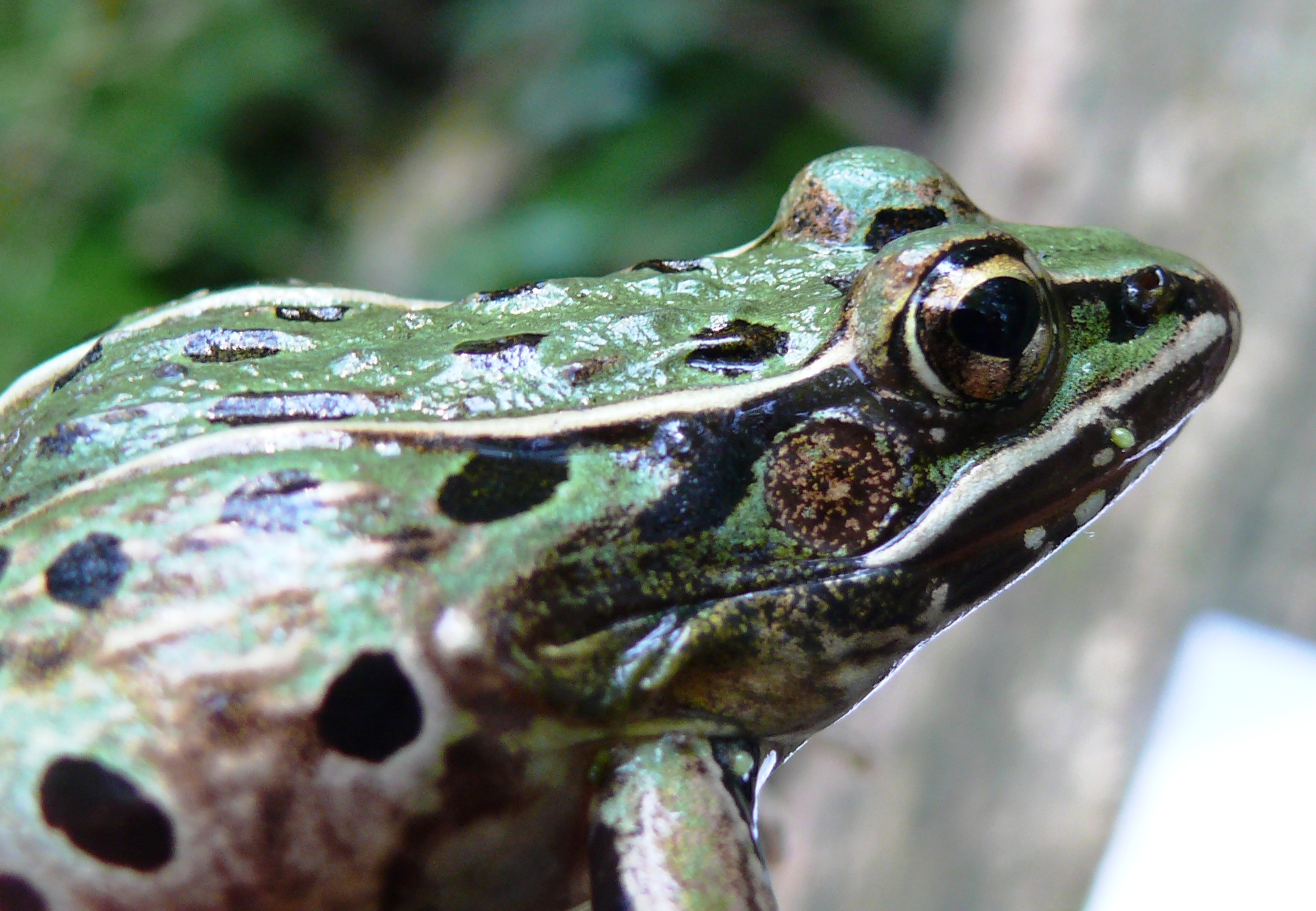 Distribution and conservation status of the newly for Frog agency