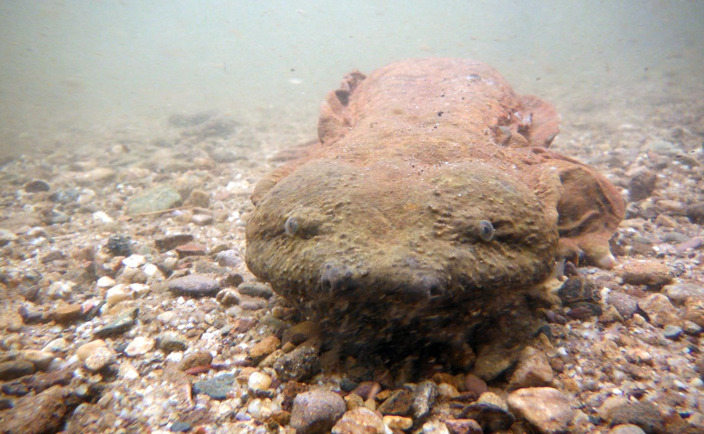 Developing a Coordinated Research Approach for Hellbender ...
